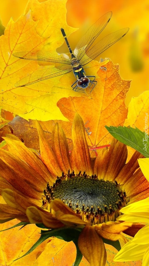 Ważka lądująca na słoneczniku