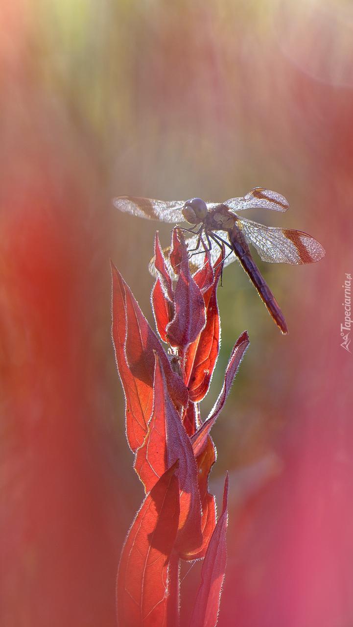 Ważka na czerwonej roślinie