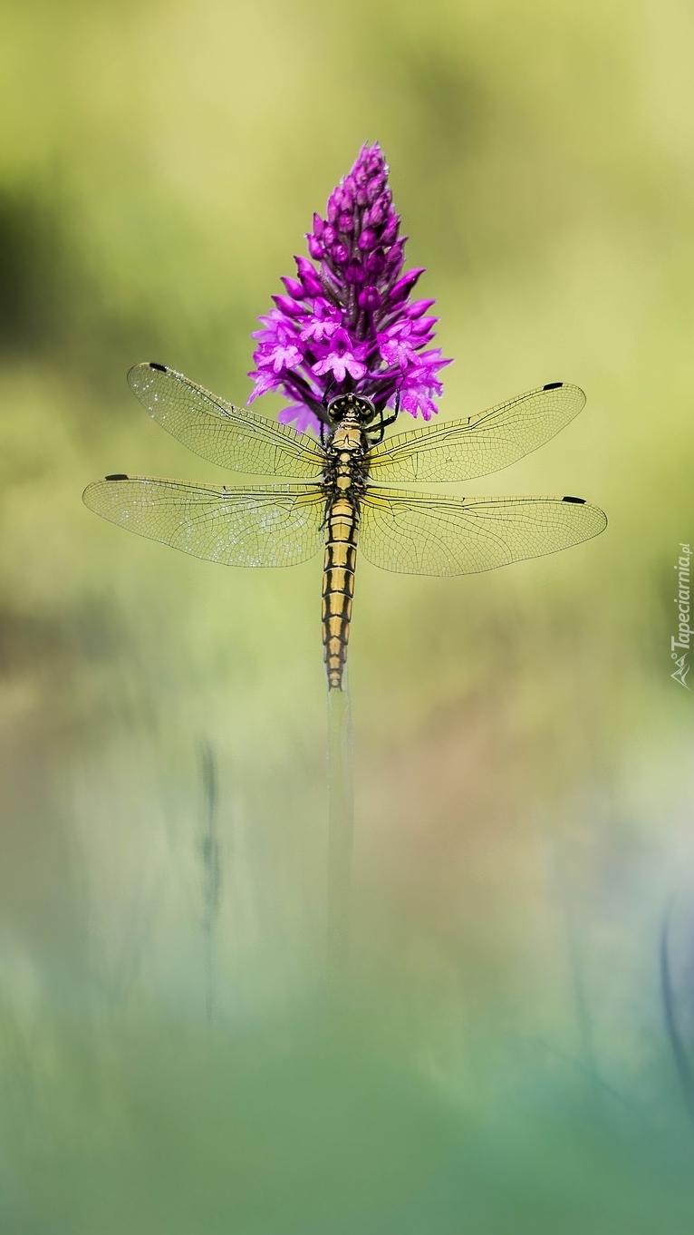 Ważka na purpurowym kwiatku