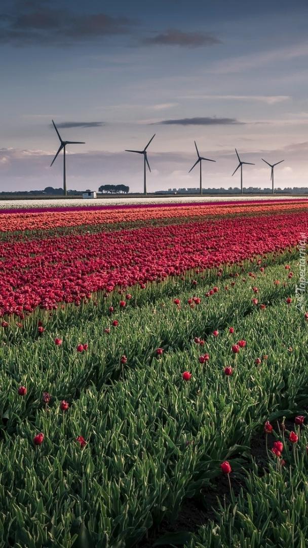 Wiatraki na polu tulipanów