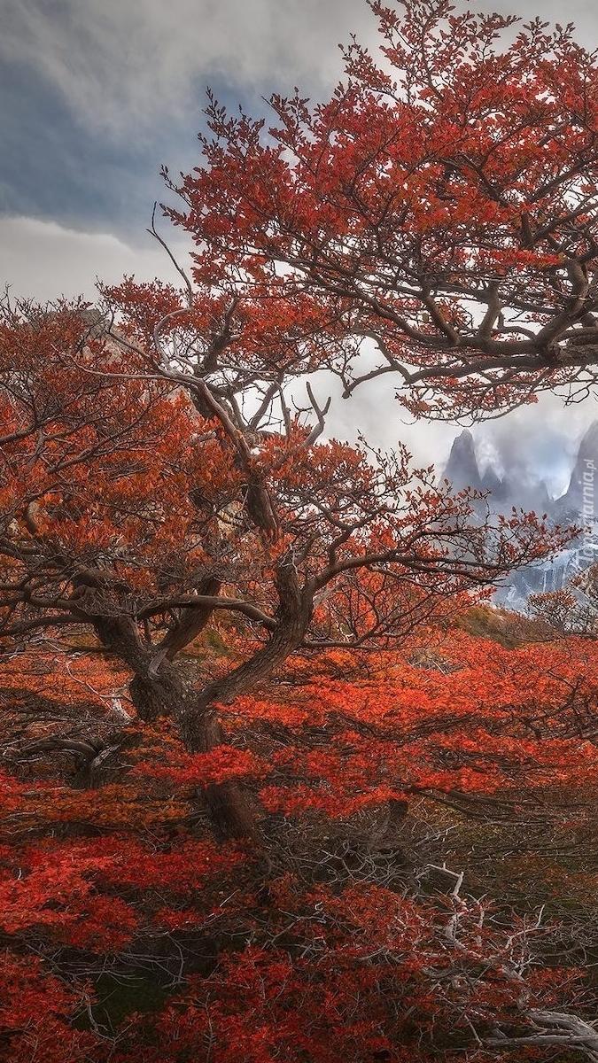Widok zza drzewa na szczyt Fitz Roy w Andach