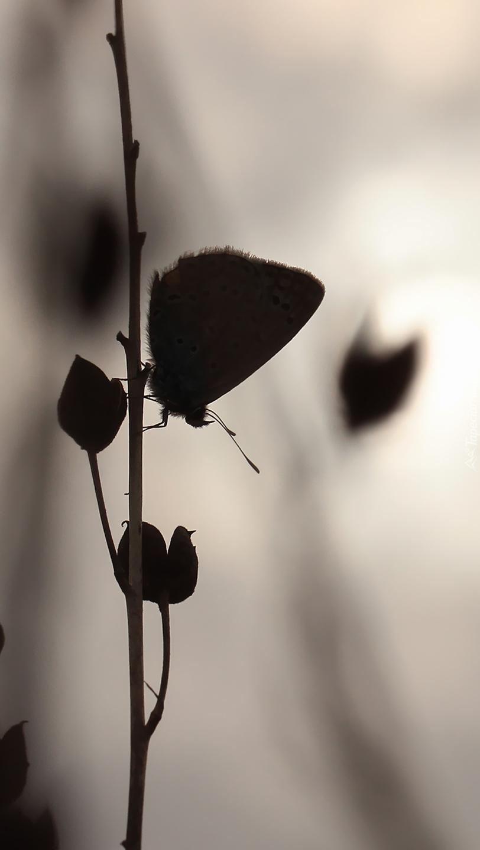 Wieczorne spotkanie motyla z rośliną
