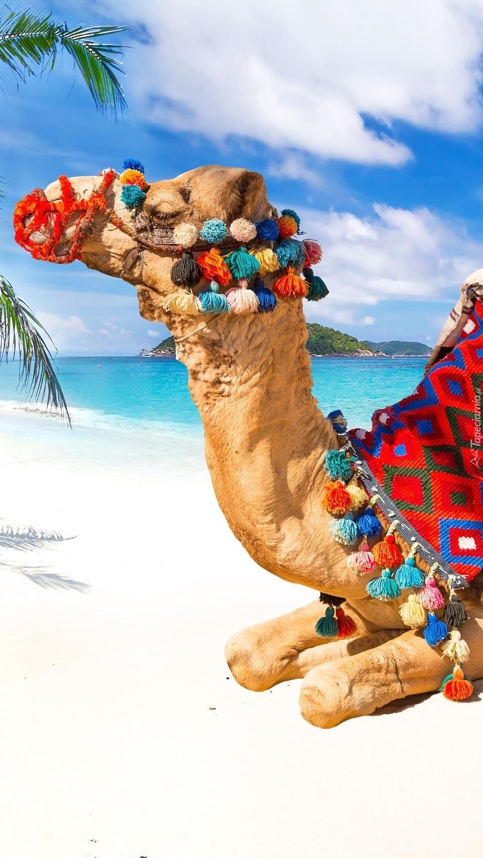 Wielbłąd na morskiej tropikalnej plaży