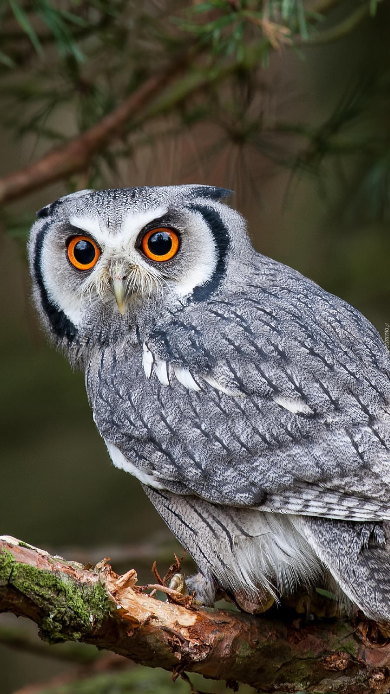 Wielkie mądre oczy sowy