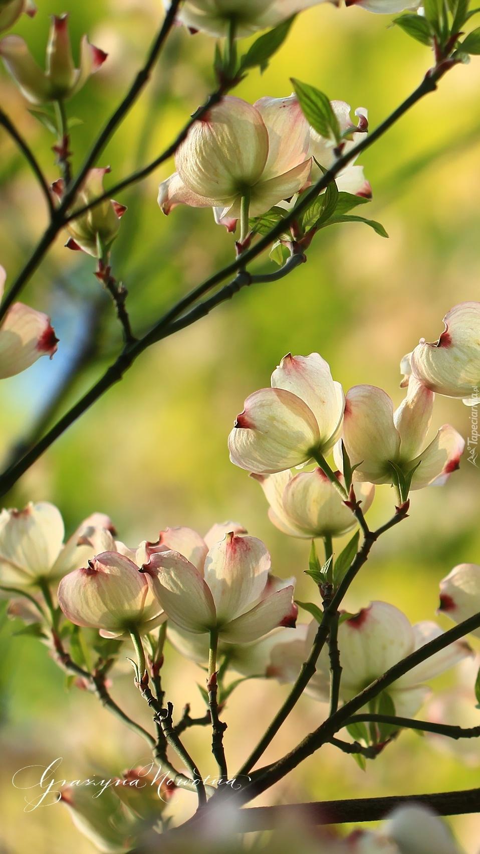 Wieloletni krzew derenia z biało-różowymi kwiatkami