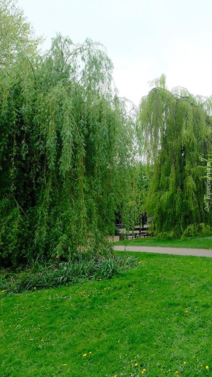 Wierzba w parku