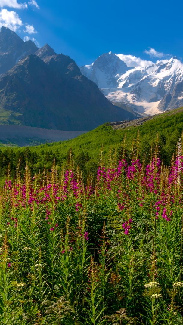 Wierzbówka kiprzyca na górskiej łące