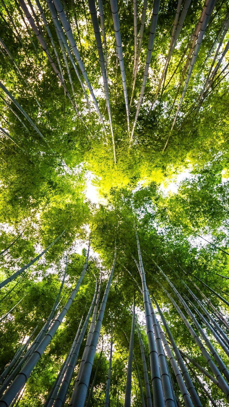 Wierzchołki bambusów