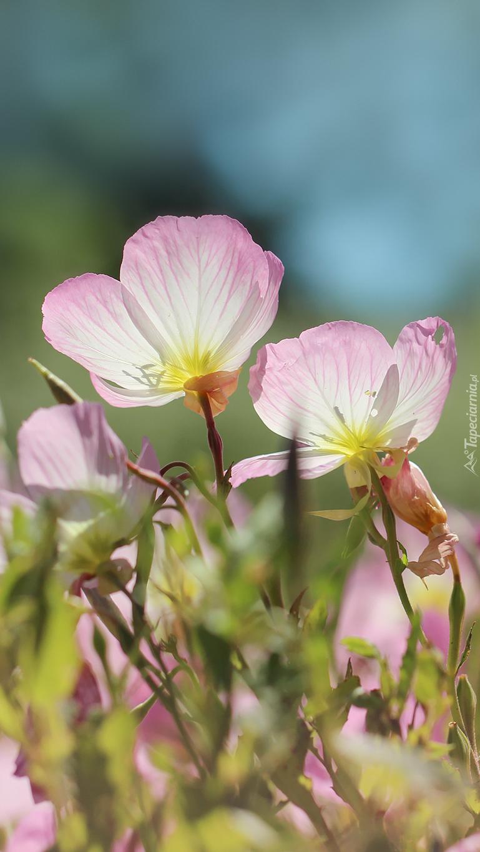 Wiesiołki w kolorze różu