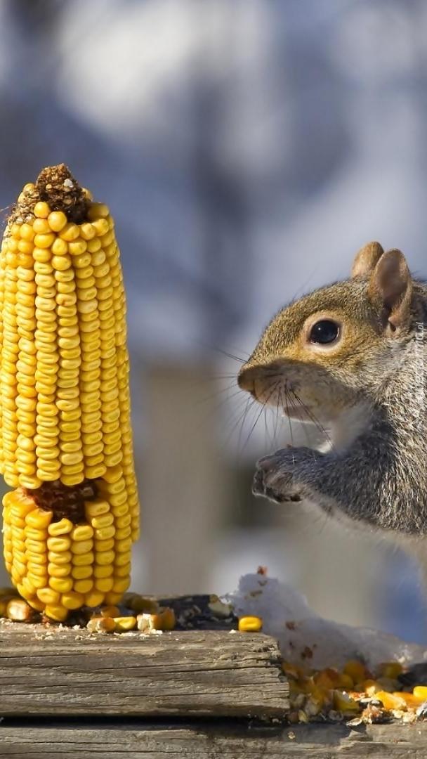 Wiewiórka i kolba kukurydzy