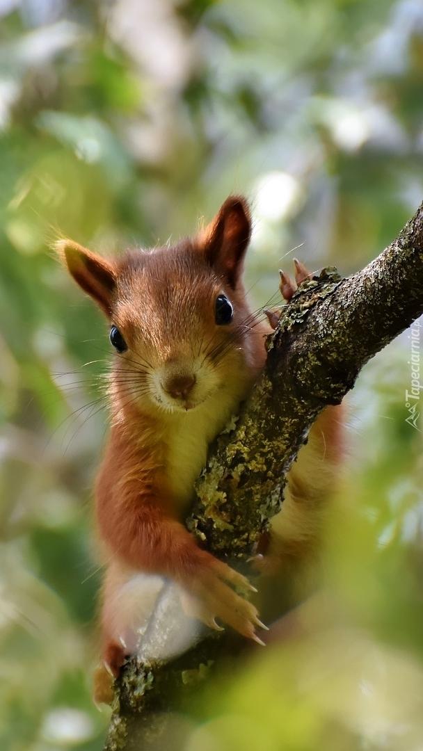 Wiewiórka na gałęzi