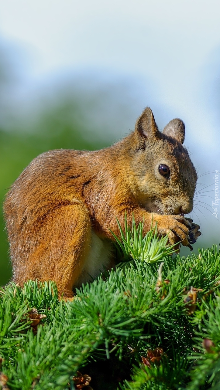 Wiewiórka na iglastej gałązce