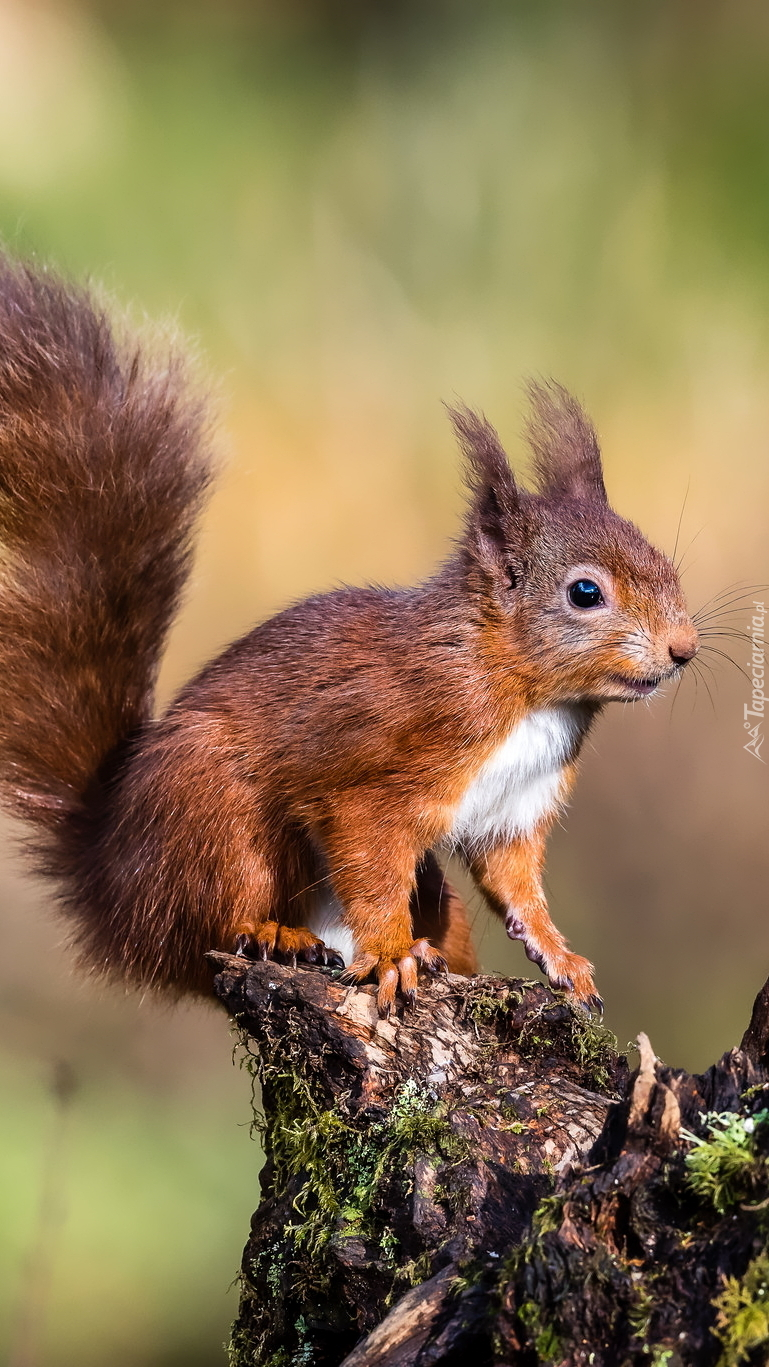 Wiewiórka na omszałym pniu