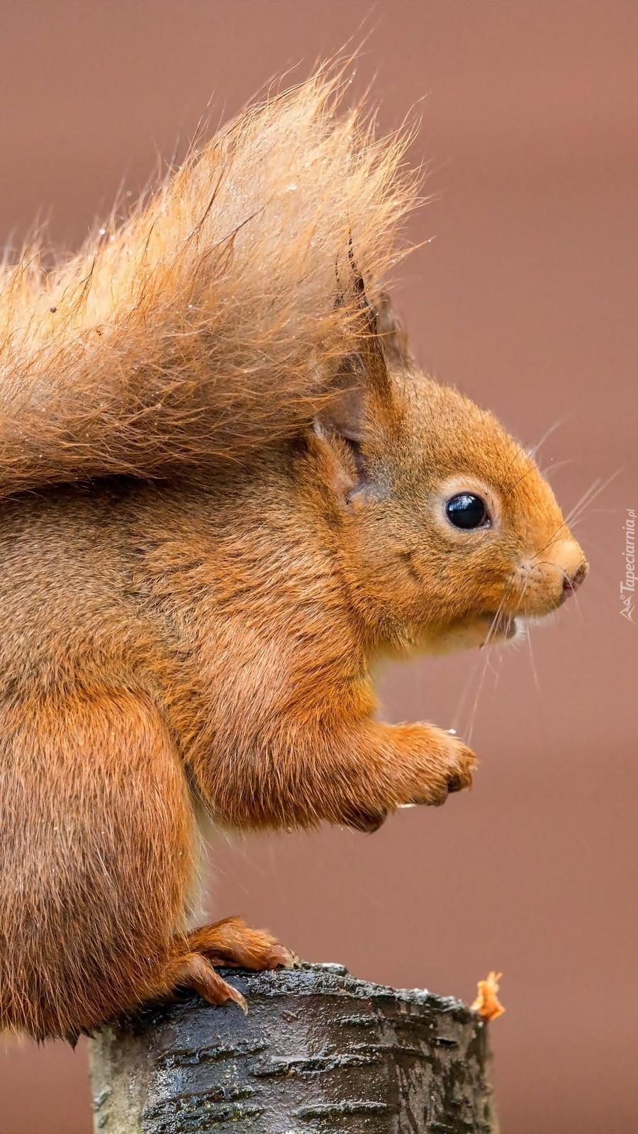 Wiewiórka na pniu