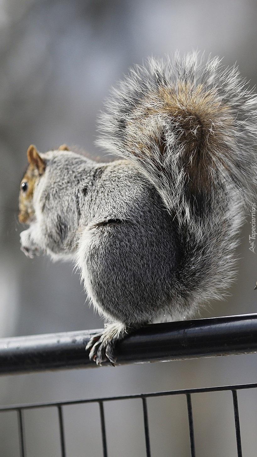 Wiewiórka na poręczy
