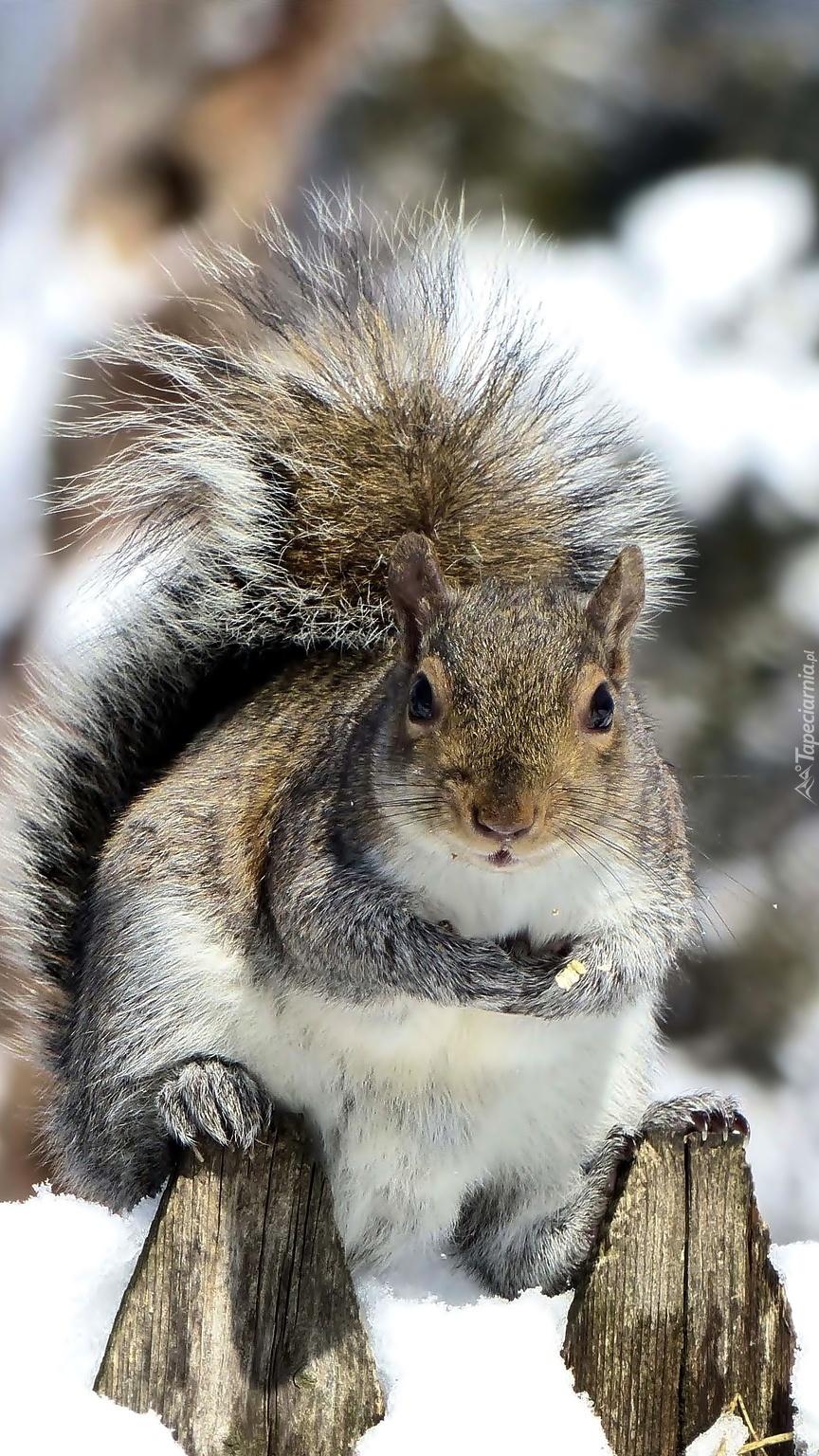 Wiewiórka na zaśnieżonym płocie
