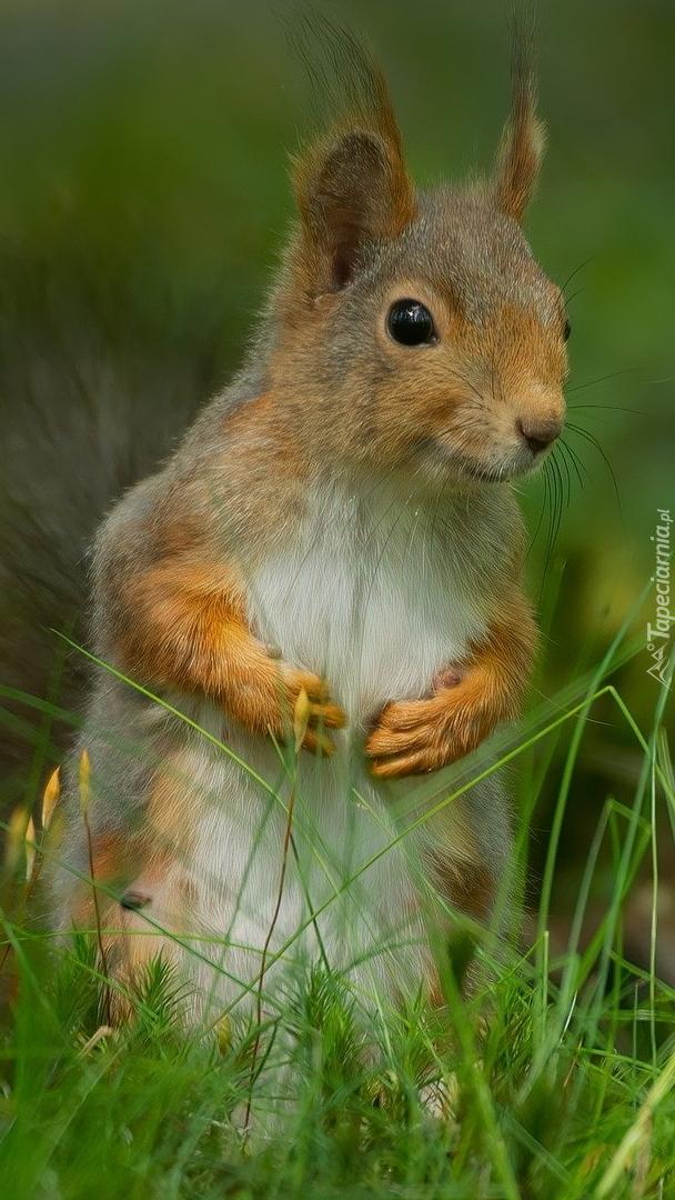 Wiewiórka stojąca w trawie