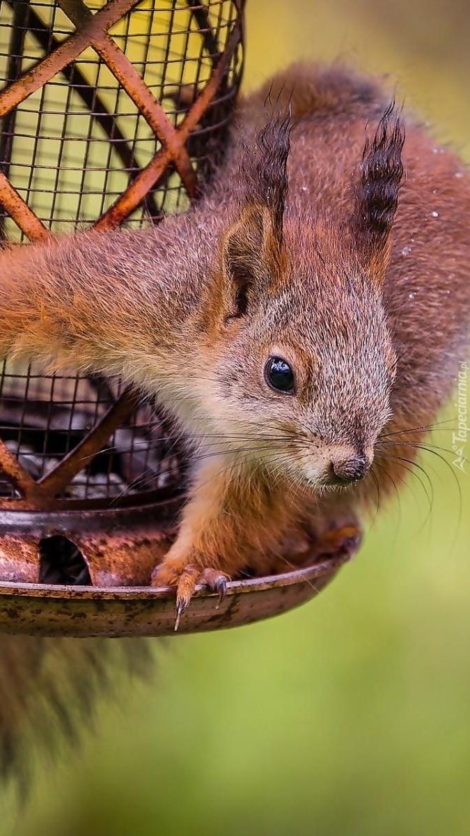 Wiewiórka w karmniku
