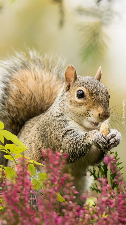 Wiewiórka we wrzosie