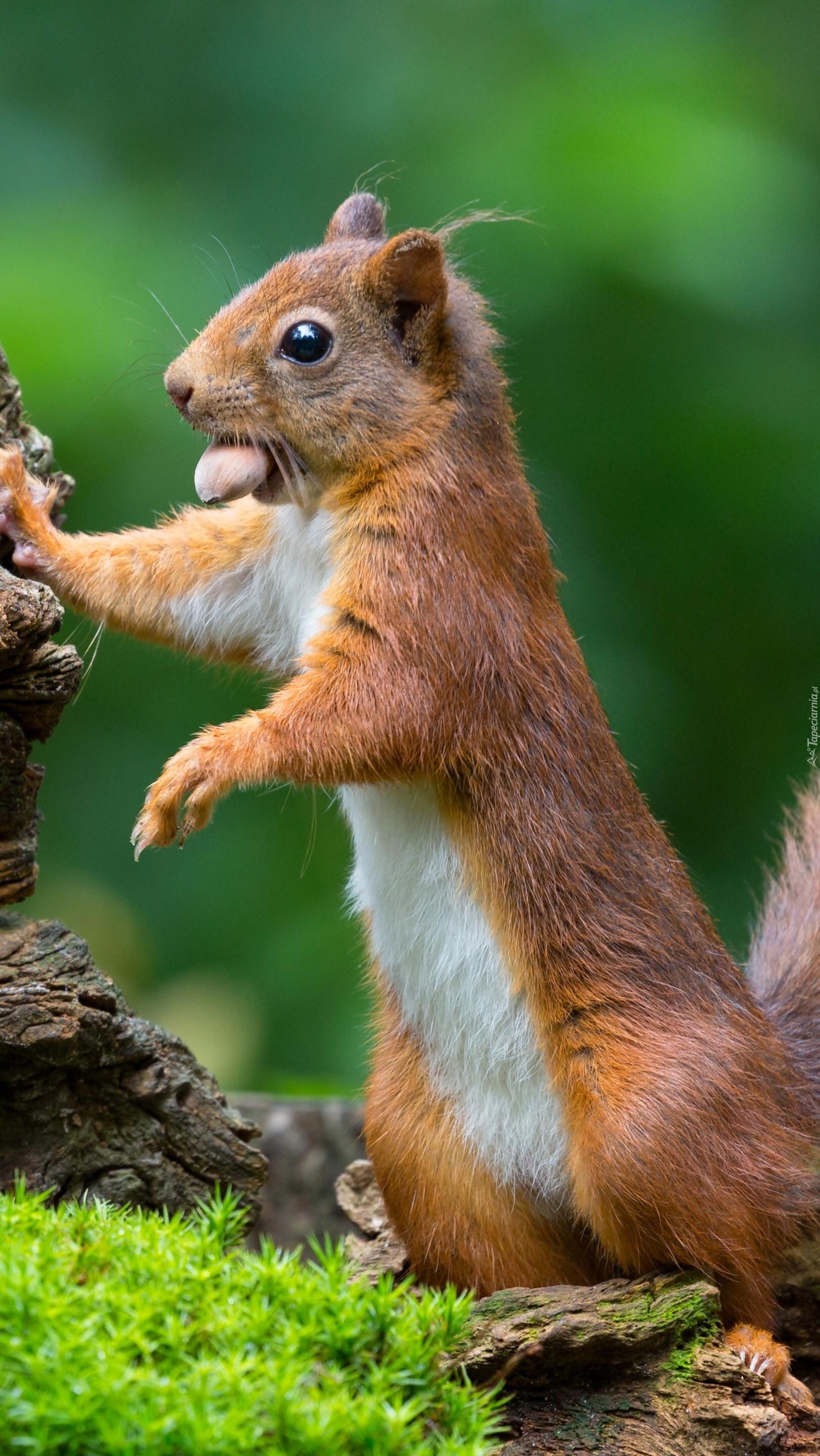 Wiewiórka z orzeszkiem w pyszczku