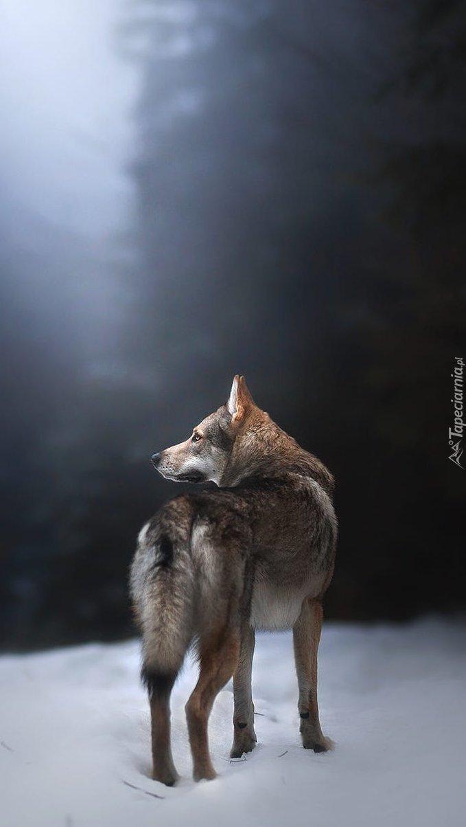 Wilczak czechosłowacki w zimowym lesie