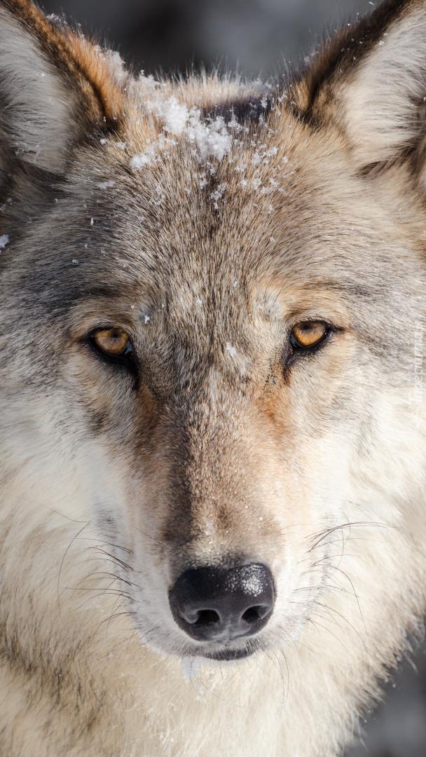 Wilk szary przyprószony śniegiem