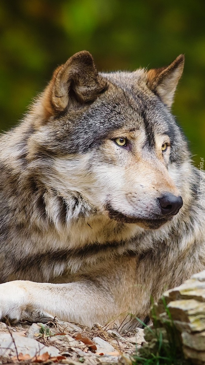Wilk wpatrzony w dal