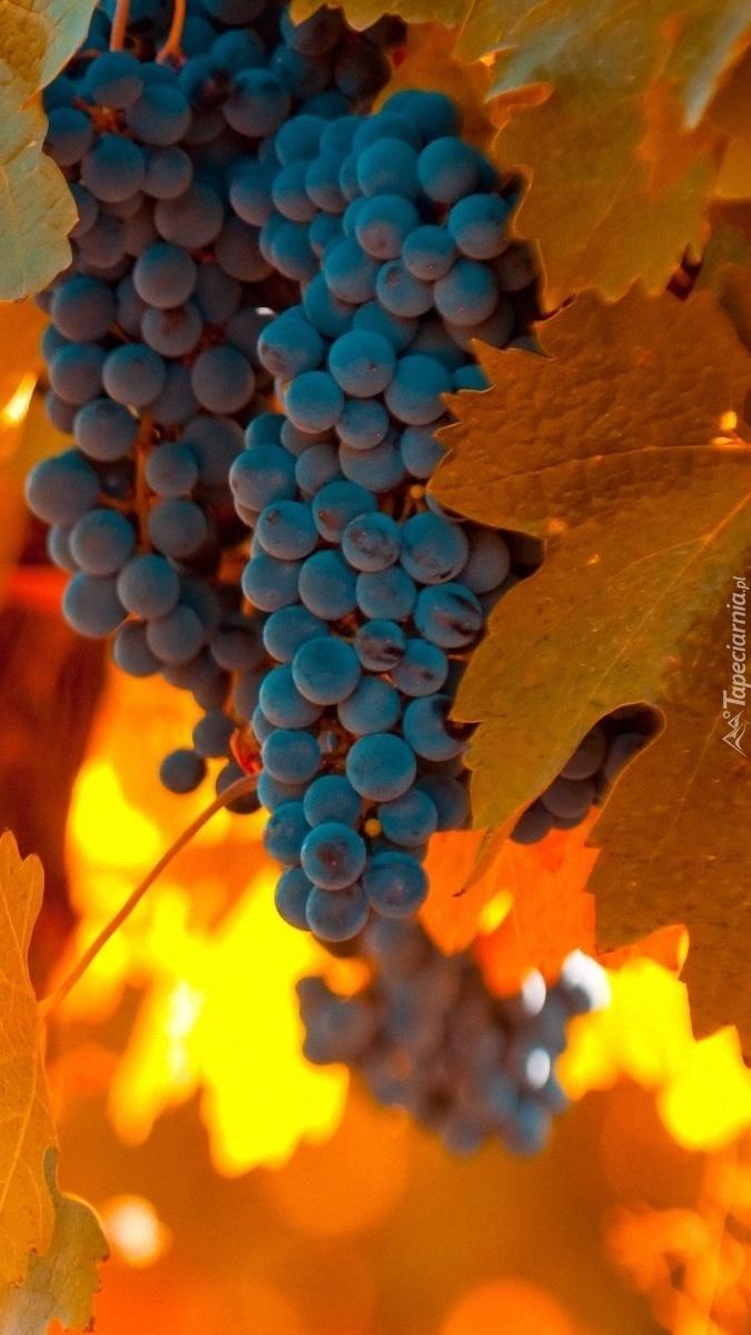 Winogrona z jesiennymi liśćmi