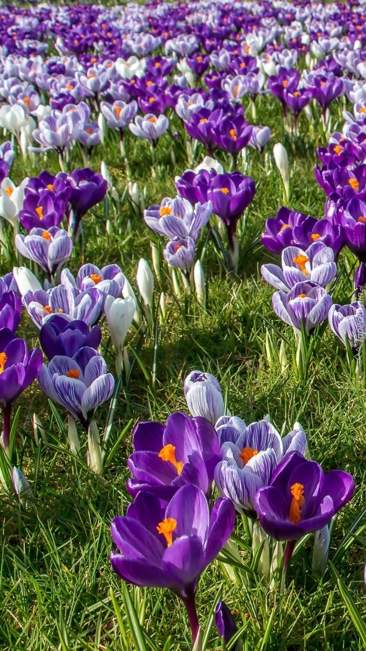 Wiosenna łąka pełna krokusów