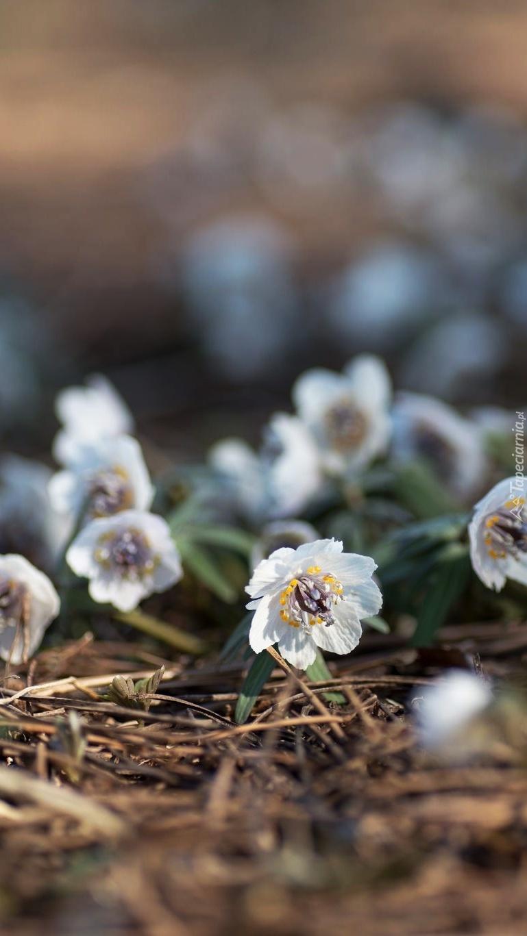 Wiosenne białe ranniki
