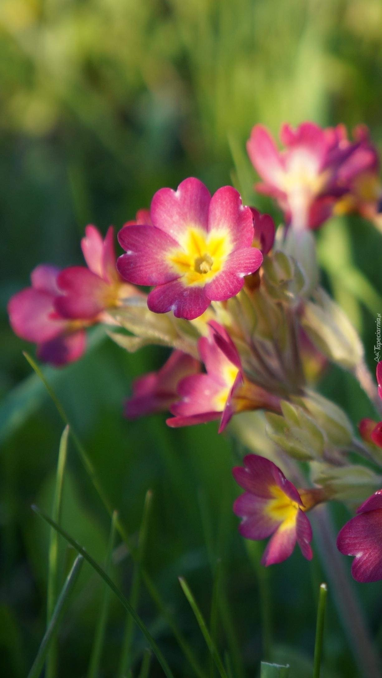 Wiosenne pierwiosnki zakwitły