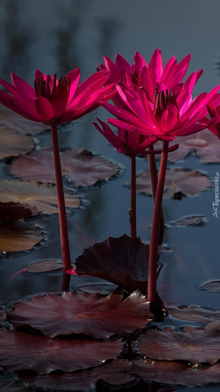 Wodna lilia w różowym kolorze