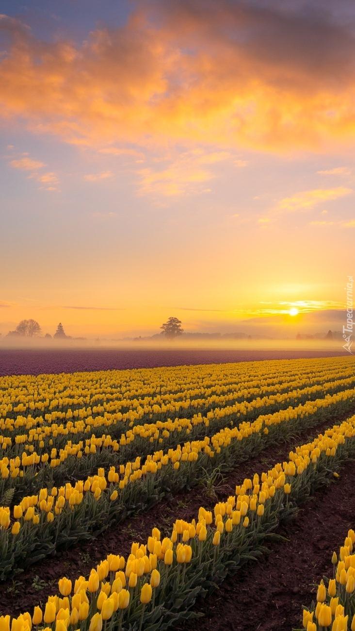 Wschód słońca nad plantacją żółtych tulipanów