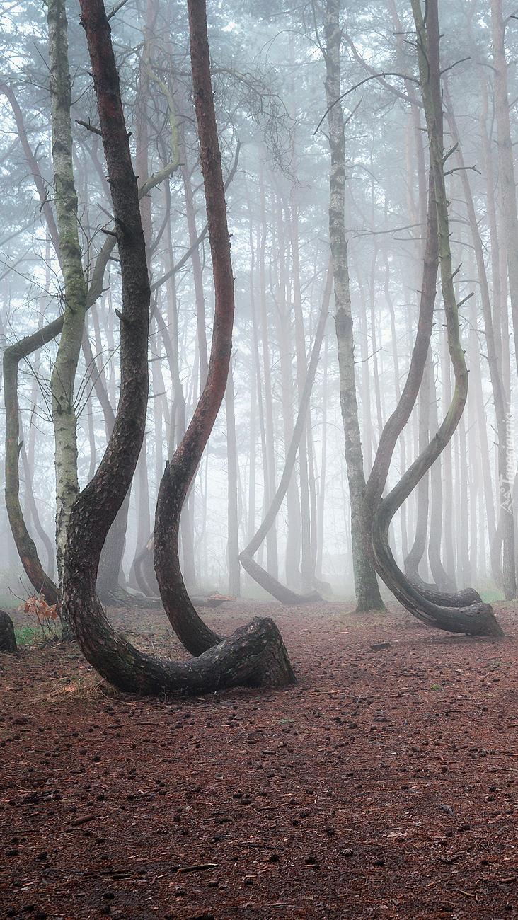 Wygięte drzewa w zamglonym lesie