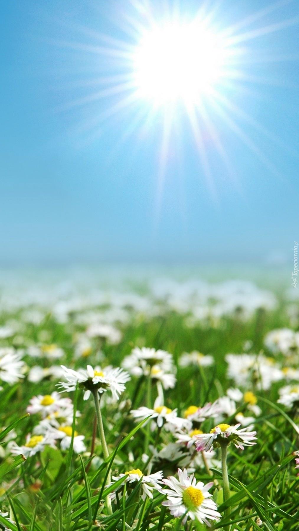 Wygrzewające się w słońcu stokrotki