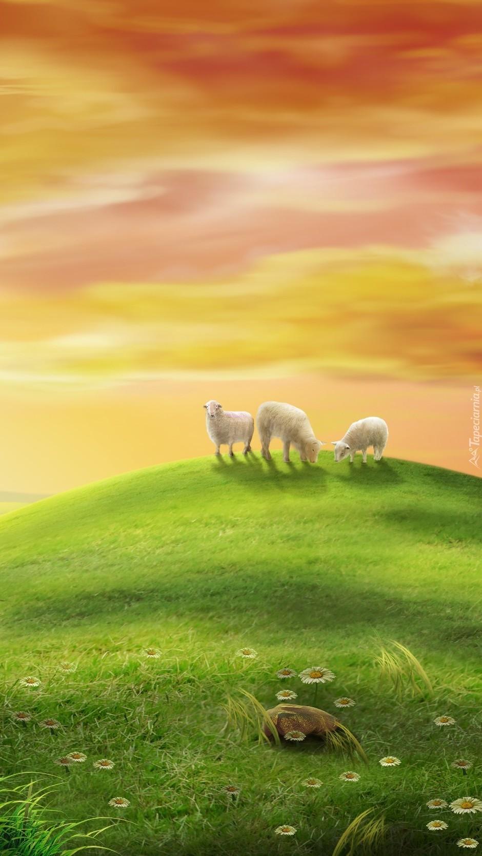 Wypas owieczek na halach w świetle zachodzącego słońca