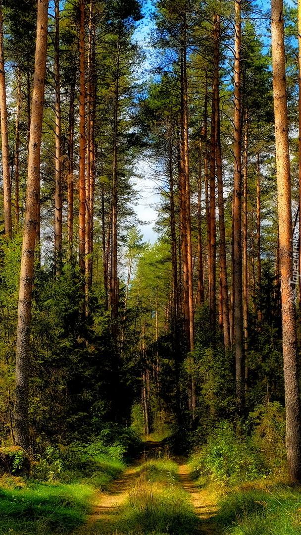 Wysokie drzewa przy leśnej drodze