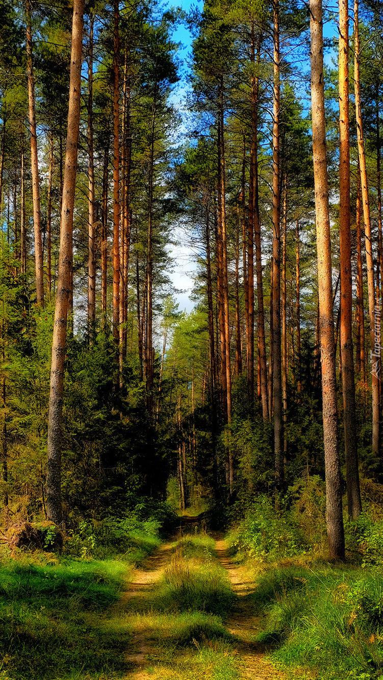 Wysokie drzewa przy leśnej ścieżce