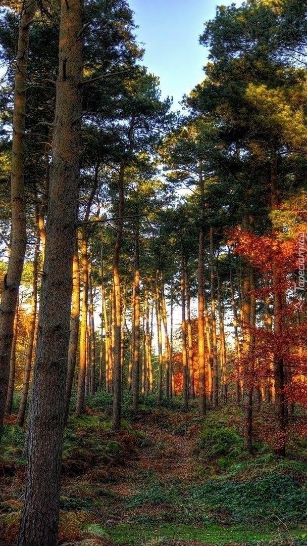Wysokie drzewa w lesie
