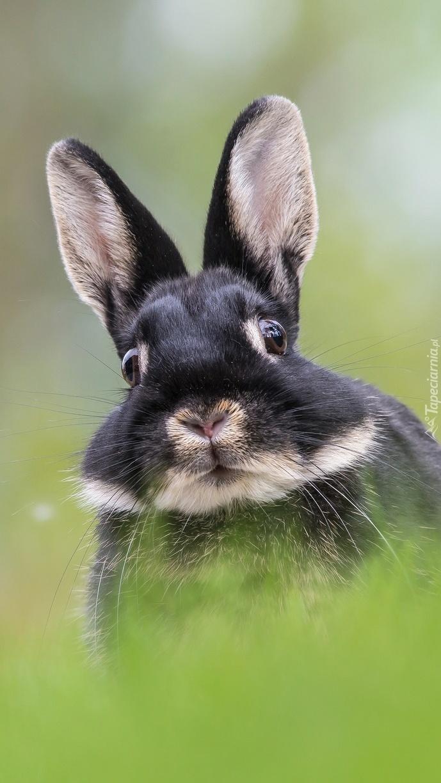 Wystraszony królik ze stojącymi uszami