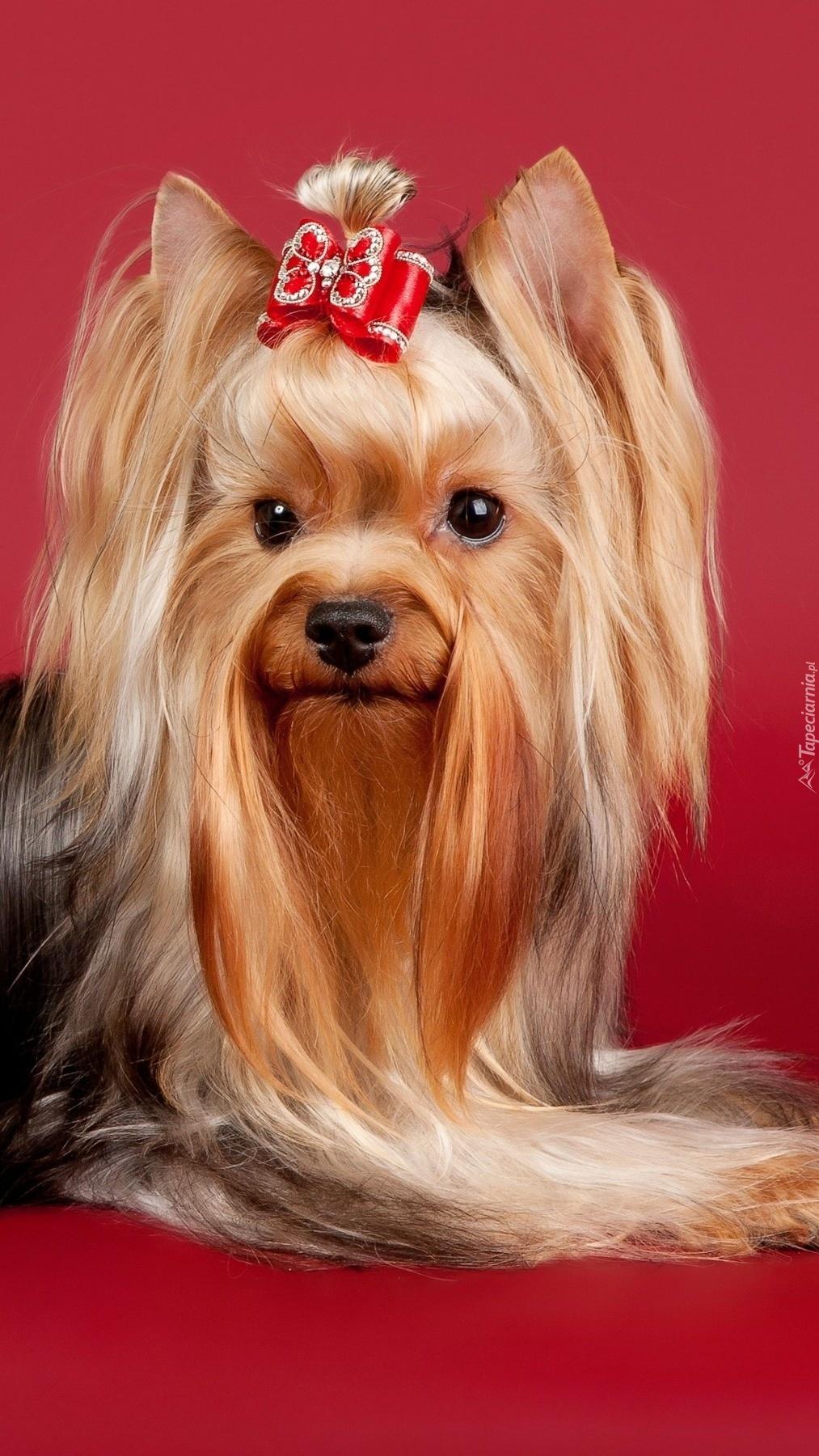 Yorkshire terrier długowłosy z kokardką