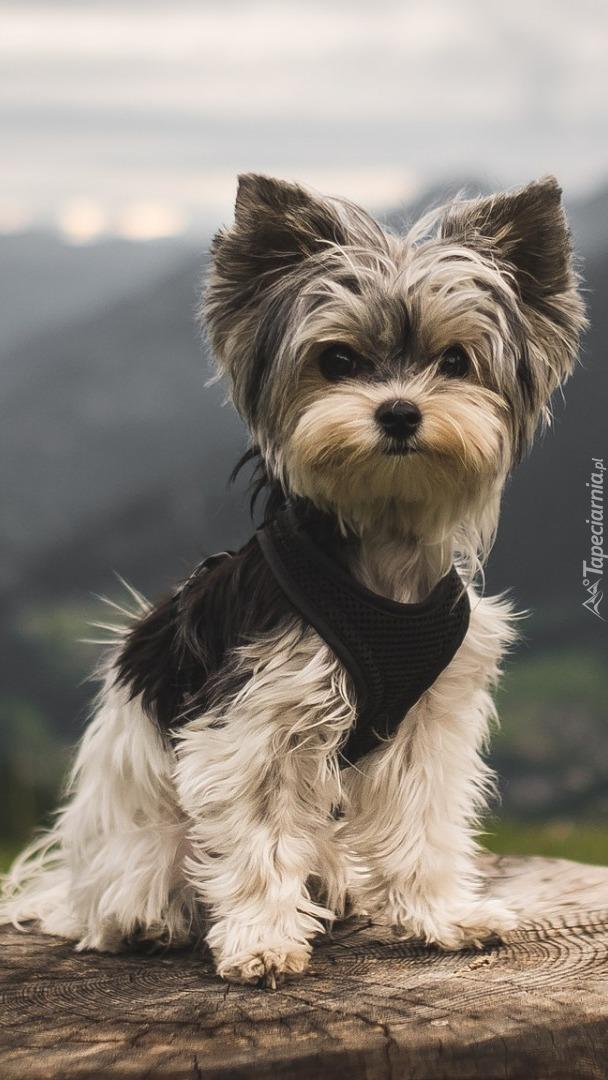 Yorkshire terrier na pieńku