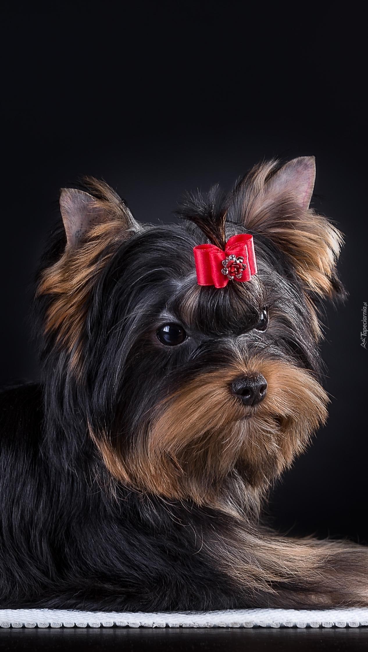 Yorkshire terrier z czerwoną kokardką