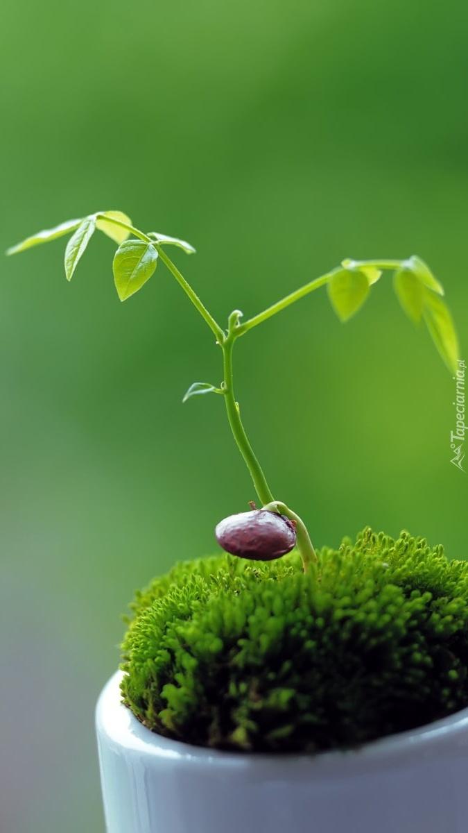 Z nasionka wyrasta roślinka