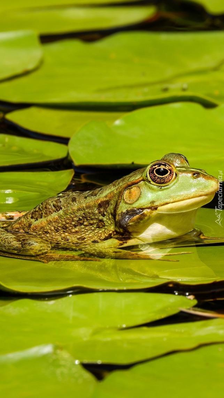 Żaba na liściu lilii wodnej