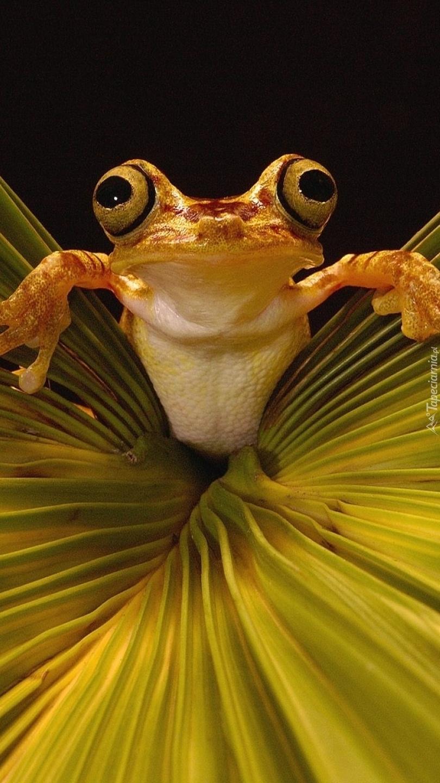 Żaba na liściu palmy