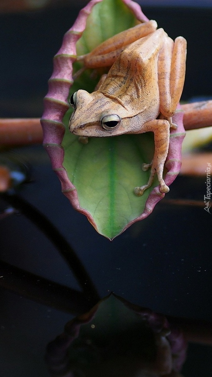 Żaba na liściu