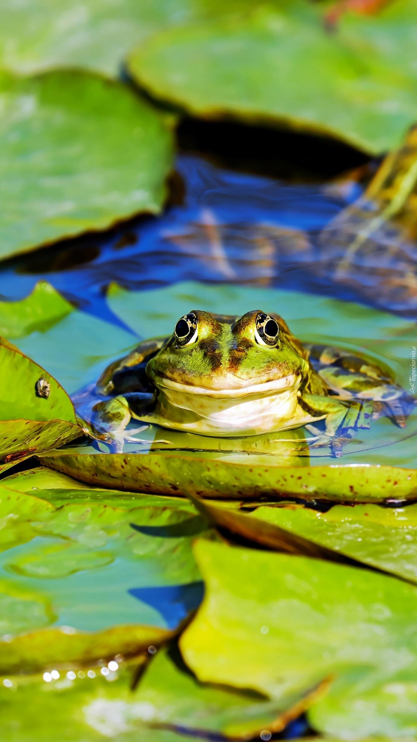 Żaba w wodzie