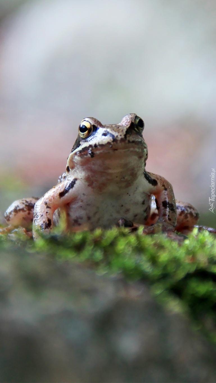 Żabka na mchu