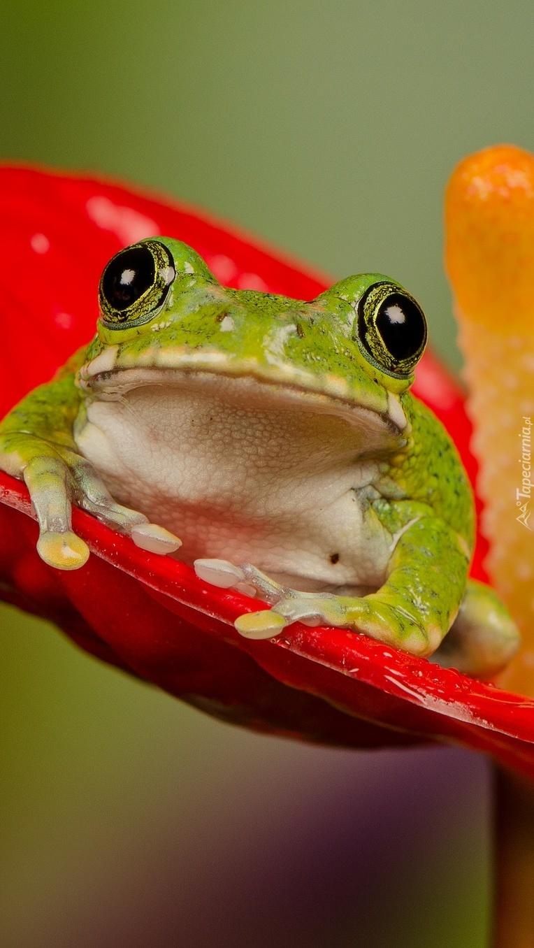 Żabka zielona na czerwonym anturium